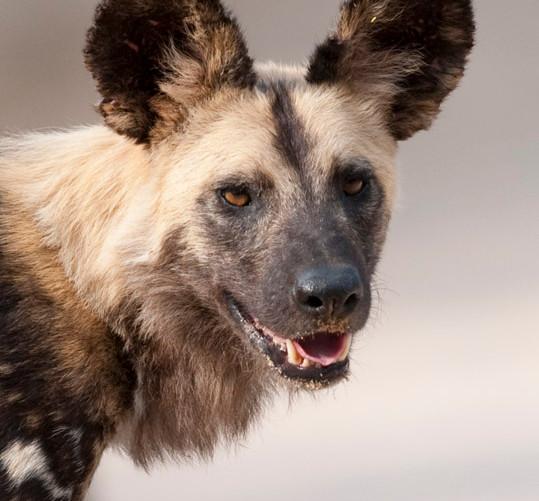 African Wild Dog 1.jpg