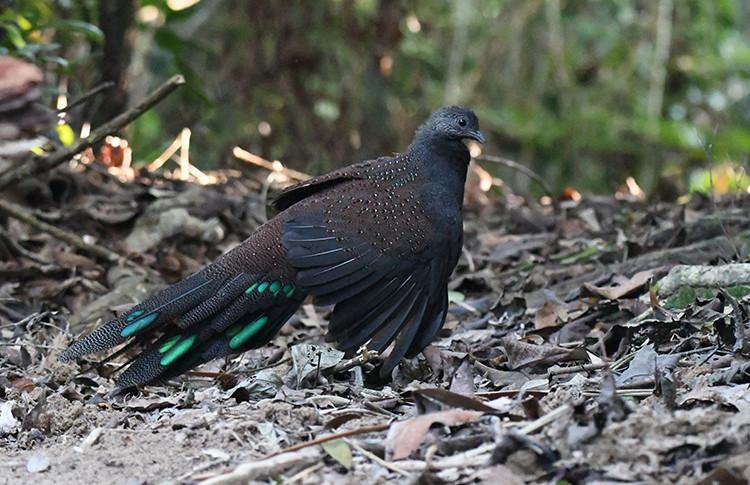 Mountain Peacock-Pheasant (male).jpg