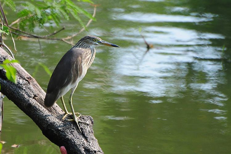 Chinese Pond Heron.jpg