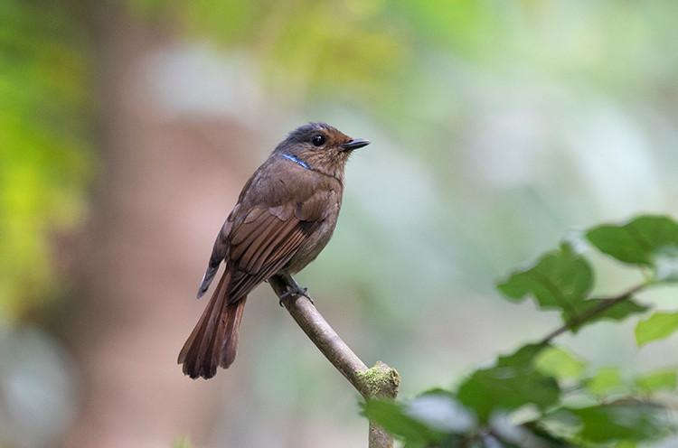 Large Niltava (female).jpg