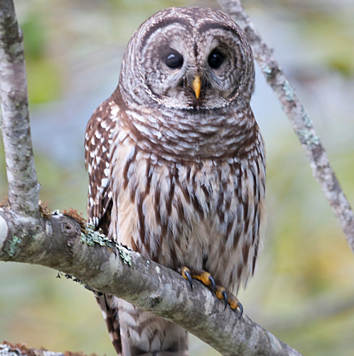 Barred Owl.jpg