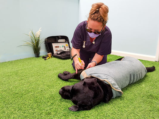 Veterinary Nurse carrying out Cold Laser Treatment