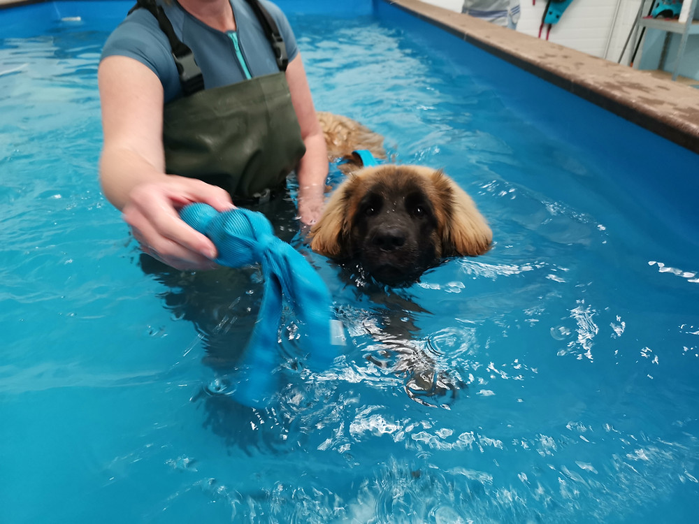 A large dog receiving hydrotherapy treatment in a Dog hydrotherapy pool