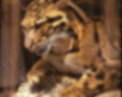 雲豹7.jpg