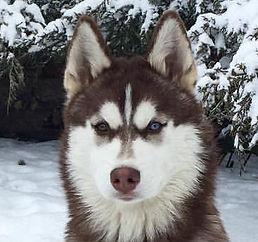 хаски сибирский питомник щенка купить щенки буено пардом