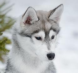 хаски сибирский питомник щенка купить щенки буено пардо