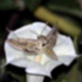 m quinquimaculatus on d wrightii.jpg