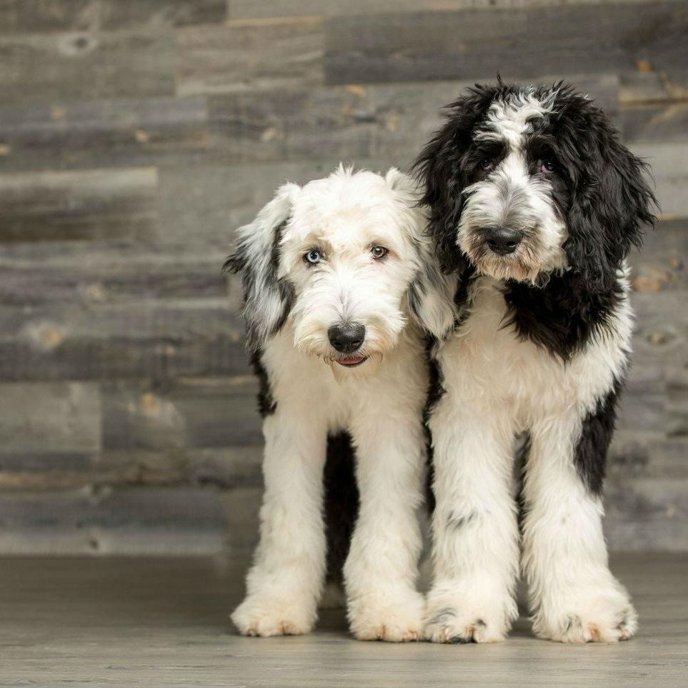 About-us | Sheepadoodle puppies | Simons Sheepadoodles