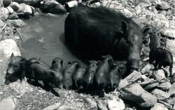 Wild Boar, Nepal