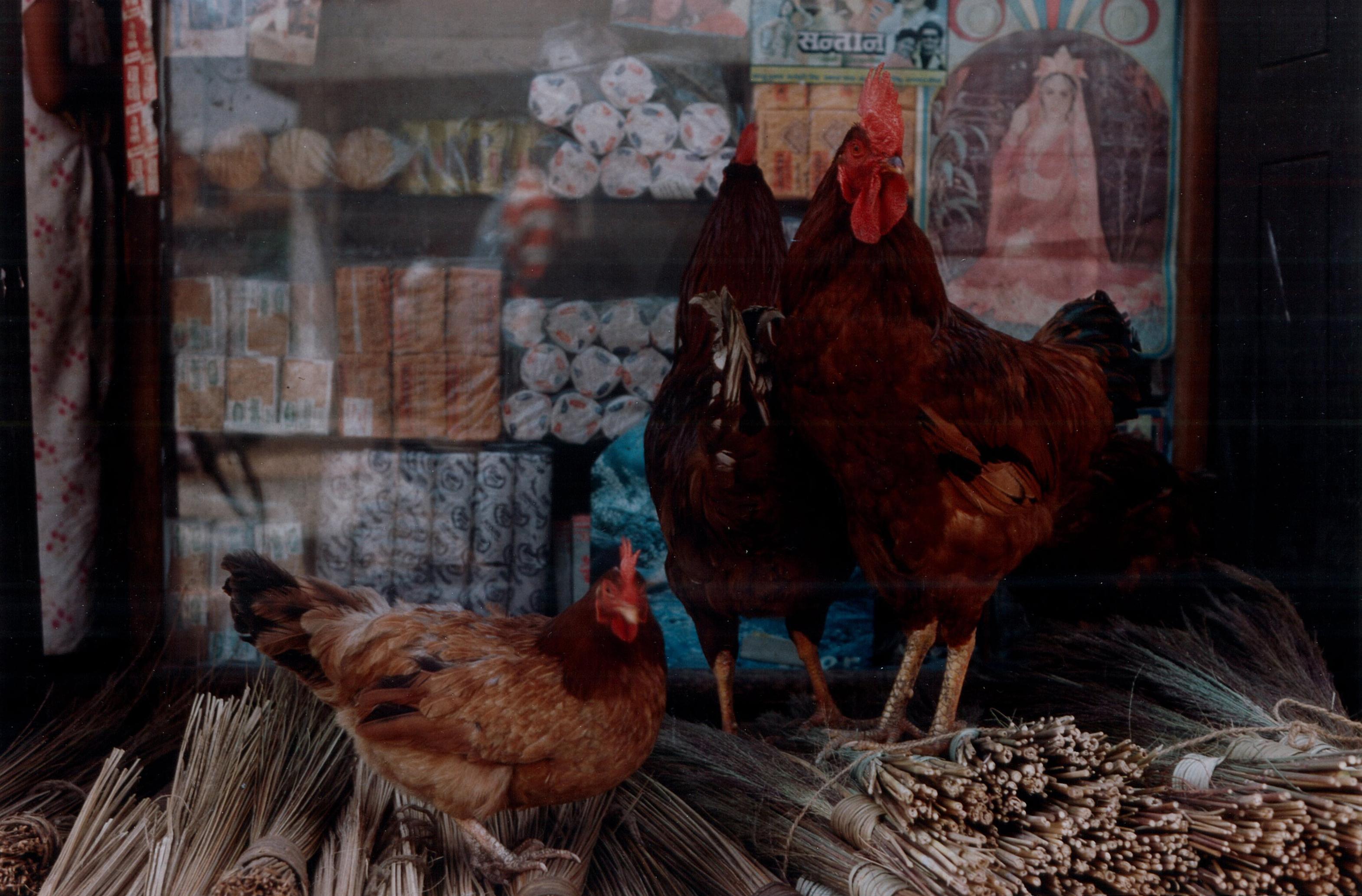 Chickens, Nepal