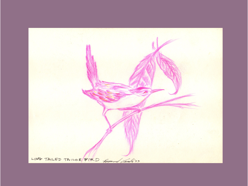 Long-Tailed Tailorbird