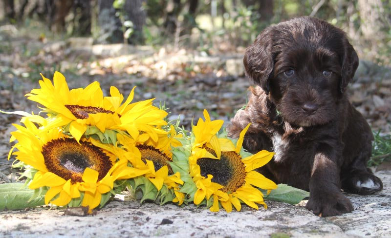 sunflower puppy-1.jpg