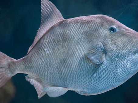 Triggerfish Fishing Guide