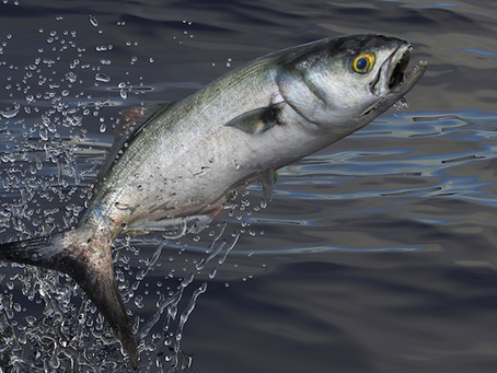 Bluefish Fishing Guide