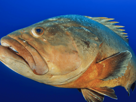 Snowy Grouper Fishing Guide