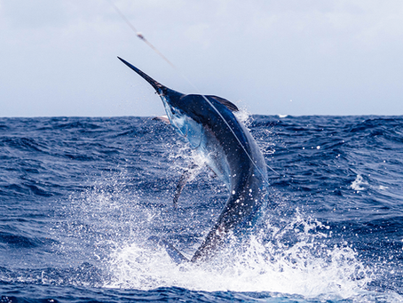 Blue & White Marlin Fishing Guide