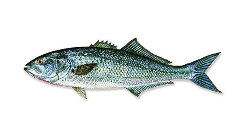 Blue Fish Virginia Beach