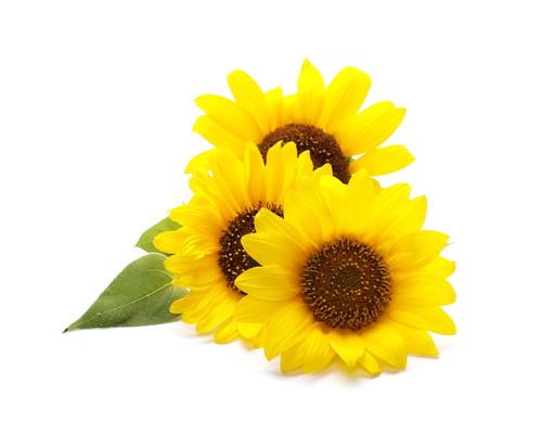 Sonnenblume - Inhaltsstoff lipure Handcreme