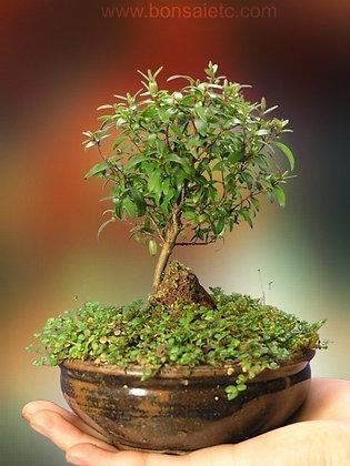 Summer Flowering and Fruiting Herbaceous Bonsai - Dwarf