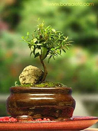 Indoor Beginner's Bonsai - Mini Aromatic & Herbal Bonsai Tree