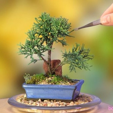 A Starter Shimpaku Juniper Bonsai Tree