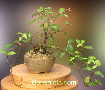 An Indoor Flowering Jasmine Bonsai Tree