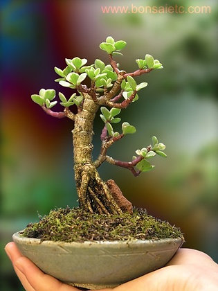 An Indoor Muscular Bonsai Tree