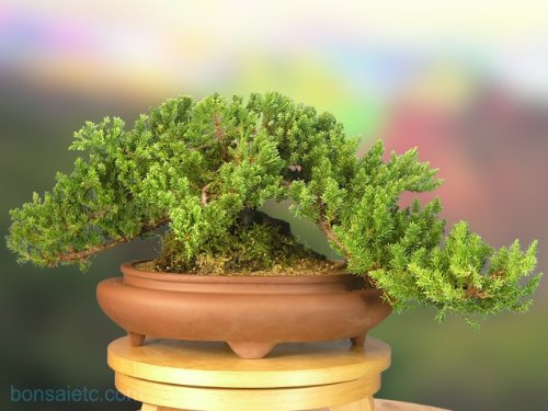 A good size Juniper Bonsai - about 10 Year Old Tree - Come with a Bonsai Care DV