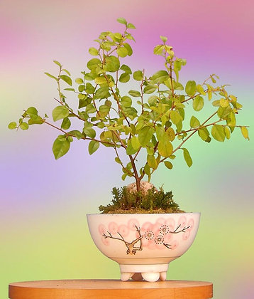 Indoor Flowering Sweet Plum Bonsai Tree