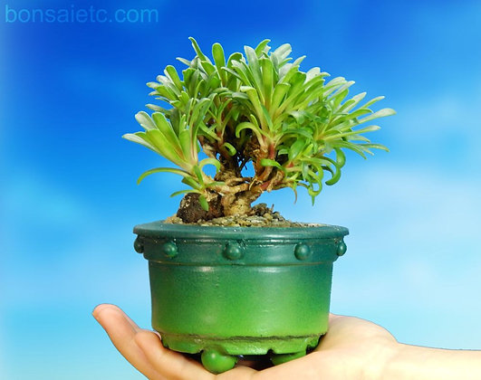 "Flowering ""Good Multi-Trunk"" Bonsai Tree"