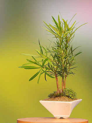 The Bright and Festive Dwarf Bonsai Forest in Luminous Procelain Container