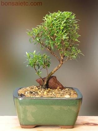 Petite Herbal Bonsai