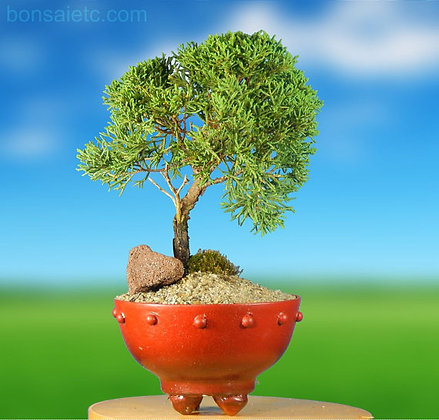 Beautiful JUNIPER BONSAI TREE - As Shown in Picture