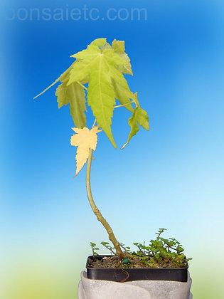 Indoor Maple Seedling
