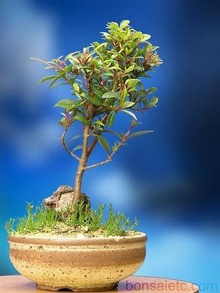 Indoor Flowering Cherry Tree