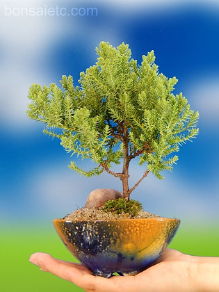 A Juniper Bonsai Tree in Beautiful Hand-painted Bonsai Container