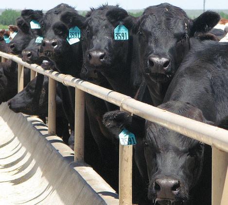 Feedlotting Cattle