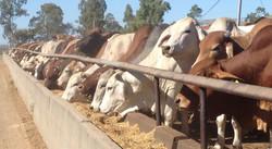 Myola cattle_edited