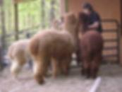 Greg Feeding Alpacas.jpg