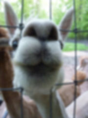 Alphie with his nose in the fence.jpg