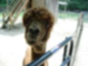 Alpaca Looking Wierd.jpg