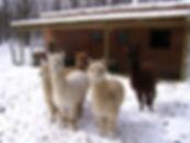 Alpacas March 2008 1.jpg