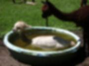 Alpaca in the Pool.jpg