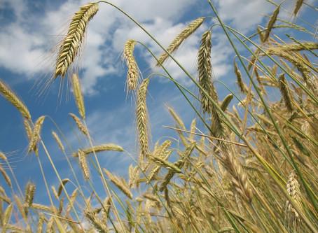 Many Minoan Harvests!