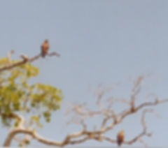 Two snail kites in a tree along the New River in Belize