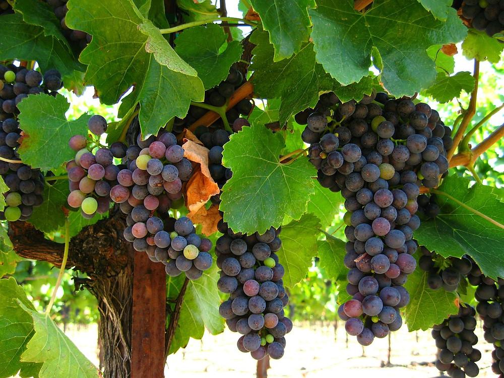 x grapevine.jpg