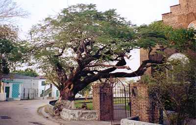 The sea almond tree at St. John's cathedral from Jaguar Sky