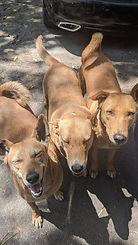 DESI DOGS.jpg