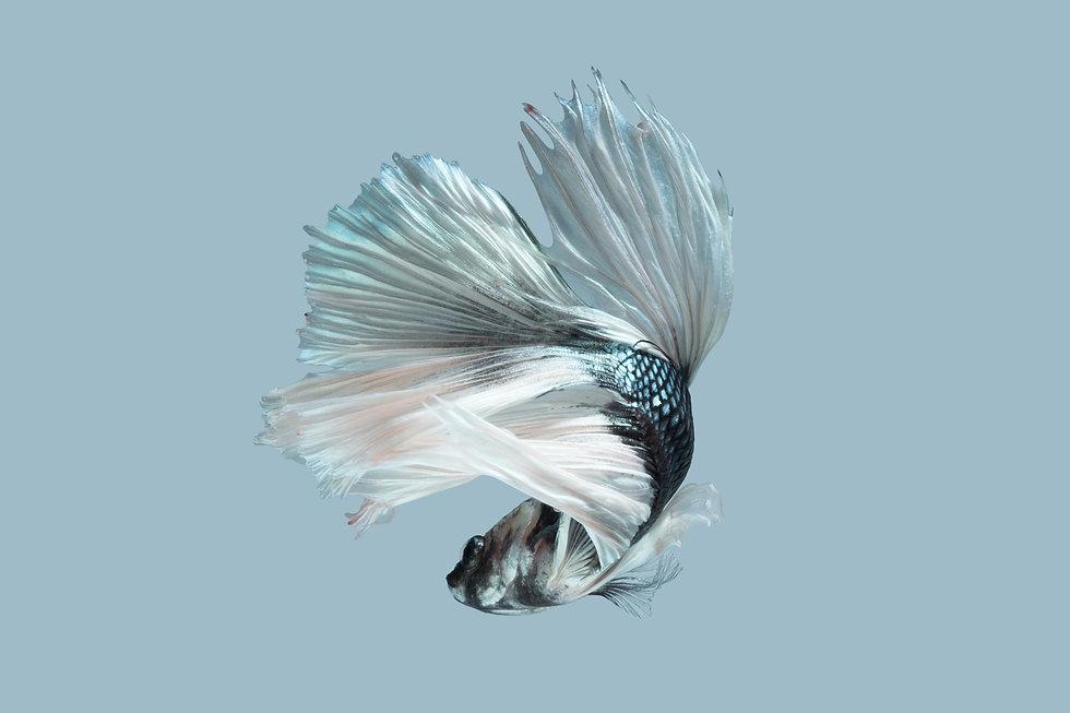 Betta Siamese fighting fish, Betta splen