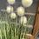 Thumbnail: Onion grass bundle